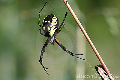 Black & Yellow Garden Spider Female