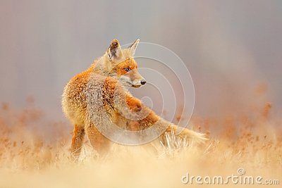 Red Fox hunting, Vulpes vulpes, wildlife scene from Europe. Orange fur coat animal in the nature habitat. Fox on the green forest