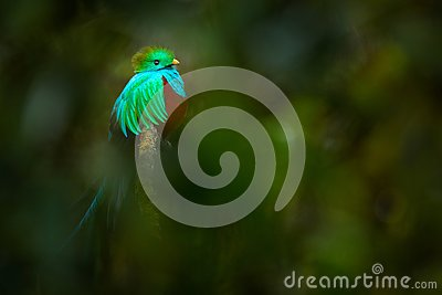 Tropic bird. Quetzal from Guatemala, Pharomachrus mocinno, from forest with blurred green forest in background. Magnificent sacred