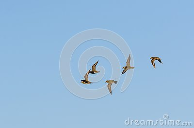 Flock with wader birds in flight by fall migration
