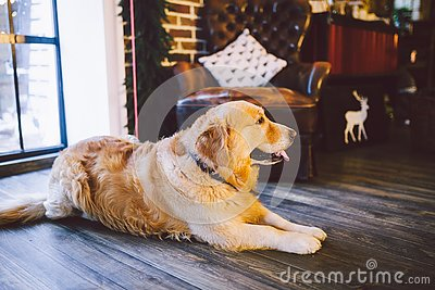 Christmas theme and pets. An adult Golden Oetriver dog licks near the window on New Year`s holidays. Labrador purebred
