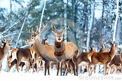 Artistic winter christmas nature image. Winter wildlife landscape with noble deers Cervus Elaphus. Many deers in winter