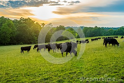 Sunset on field of black cows grazing on grass