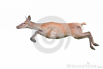 Red deer, cervus elaphus, hind running dynamically isolated on white background