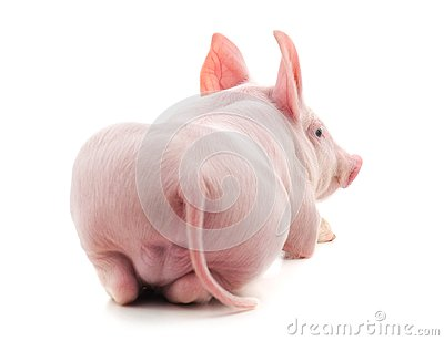 The back of a pig