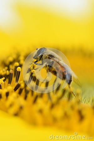 Vivid yellow Sunflower with honey bee pollinate mirco photo close up shot busy bumblebee
