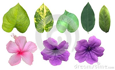 The tropical green leaves isolated in white background, blooming pink and purple flowers with clipping path and dicut.