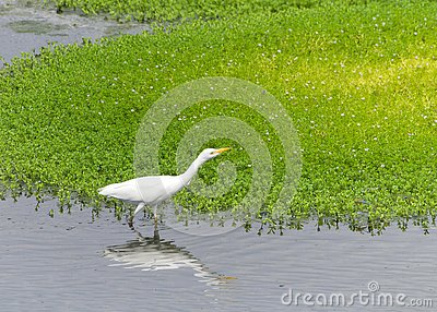 One Cattle Egret foraging for food in shallow marsh waters