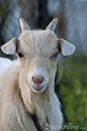 Portrait of a small goat
