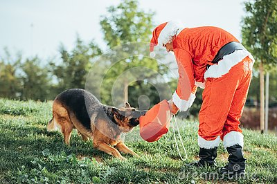 Santa Claus without beard playing with a German shepherd dog who is pulling him out of the gift bag