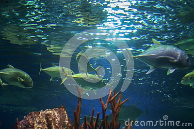 Large grey and green fish underwater, shot from below. Sun rays are refracted in the water and illuminate the water. Underwater