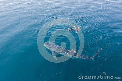 Aerial of Whale Shark and Snorkelers