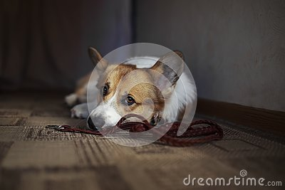 Corgi dog puppy lies on the floor in a house near with leash and profoundly sad looks at owner in anticipation walk