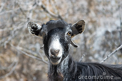Funny portrait of a goat