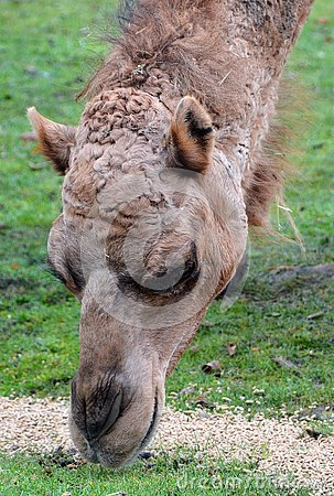 Camel is an ungulate within the genus Camelus,