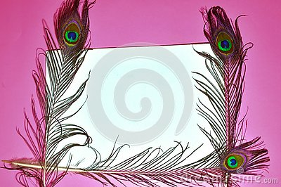 peacock feathers,peacock tail on pink background,pink background on tail, copy space,written text space,birds tail on pink