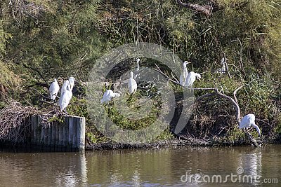 Group of Little Egrets, Egretta garzetta.