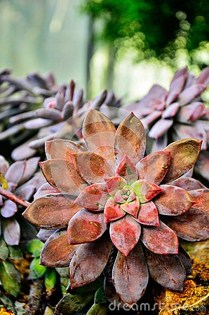 Pink and green rose succulents (Crassulaceae) from Queen Sirikit Botanic Garden in Chiangmai.
