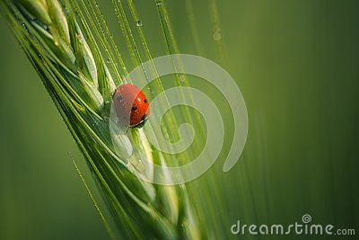 Beautiful small ladybug with dewdrops on wings