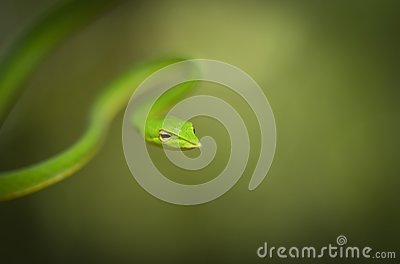 Green Vine Snake seen at Matheran in daytime,Maharashtra,India