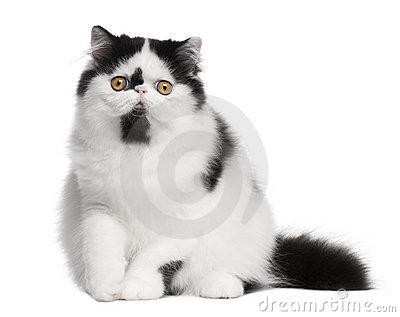 Black and white Persian cat sitting