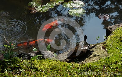 Japanese garden pond with turtles, koi fish and water lily leaves