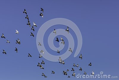 Flock of parallel flying pigeons in the sun