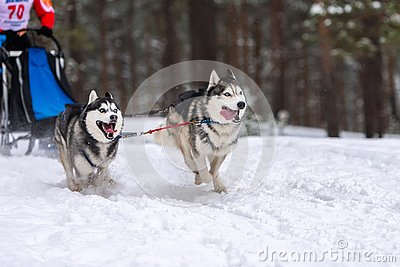 Sled dog racing. Husky sled dogs team in harness run and pull dog driver. Winter sport championship competition