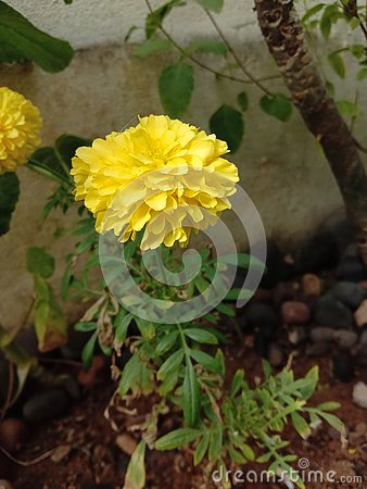 Pretty yellow merigold flower plant
