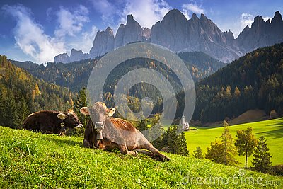 Idyllic meadow with cows and Dolomites mountains in background, Santa Maddalena. Italy