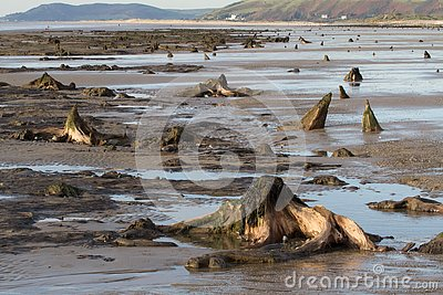 The submerged forest located on the beach in Borth
