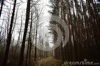 Fog clearing trail of the pine trees thin, smooth trunks of the pines standing close to each other, forming a solid