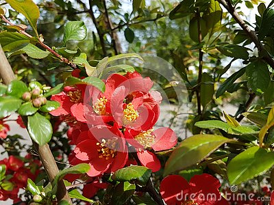 Blooming wild rose of red color. Spring awakening of nature in the sunlight. Pollination of fruit plants. Joyful mood. Green