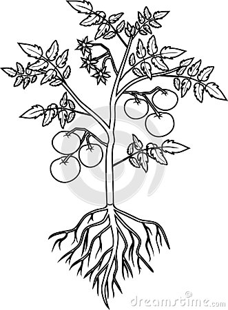 Coloring page. Tomato plant with leaf, ripe tomatoes, flowers and root system