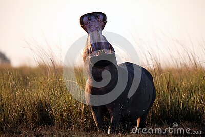 The common hippopotamus Hippopotamus amphibius or hippo is warning by open jaws standing on the river bank in beautiful evening