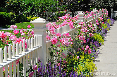 Garden fence with pink roses