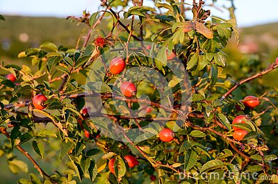 Red Rose Hip on bush in nature. Wild rose branches in front of mountain in summer. A bunch of Wild rose or dog rose berries. Briar