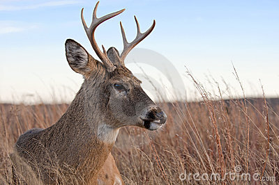 White tailed buck laying in the meadow.