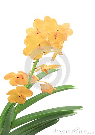 Yellow orchid, Flowers