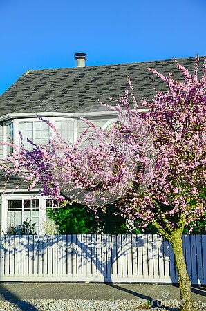 Residential house with white fence and blooming pink cherry flower in Seattle springtime