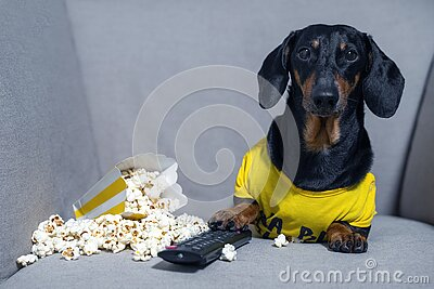 Funny dachshund dog in a yellow T-shirt spends his free time in weekend sitting in chair with a pack of popcorn and TV remote cont
