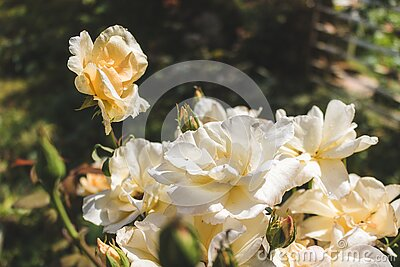 Beautiful rose in a garden. Color - cream. Shot against other roses in the yard.