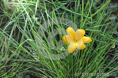 Yellow crocus flower in springtime. One of the first spring flowers. Crocus on green grass, close-up, symbol of spring.