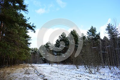 The first snow in the pine forest. A wide clearing. Blue sky clouds. Frozen grass in water