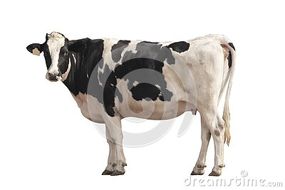Black and white cow image  isolated on the white background