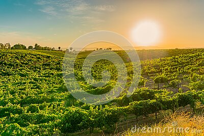 California Vineyard at Dusk with rows of vines