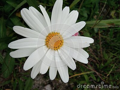 The very beautiful and pretty white and yellow  petal flower with green leaves.