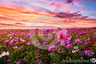 Beautiful and amazing of cosmos flower field landscape in sunset.