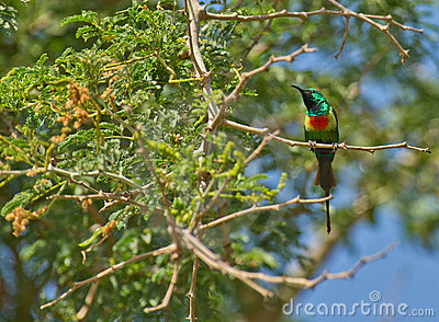 The Beautiful Sunbird