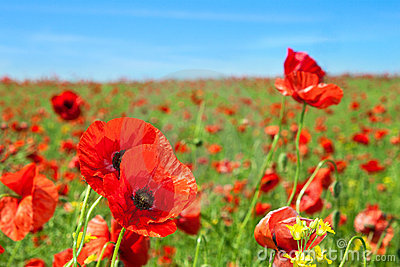 Poppy flowers field